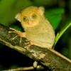 Tarsius Tumpara, Siau Island's Endemic Animal