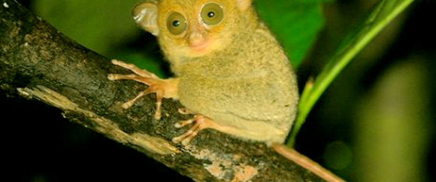 Tarsius Tumpara, Siau Island's Endemic Animal