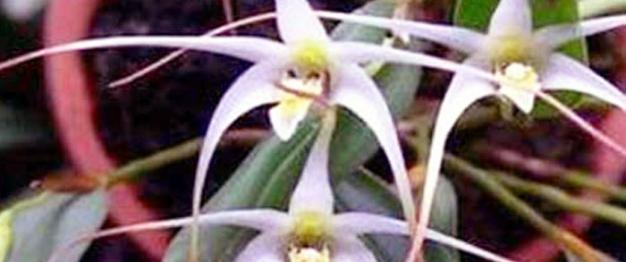 Serat Orchid (Diplocaulobium utile)