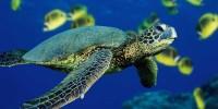 Green Turtle at Likupang Beach