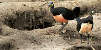 Maleo Bird Central Sulawesi
