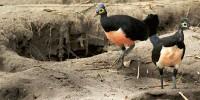 Maleo Bird Central Sulawesi