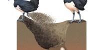 Spawning Process Maleo Bird