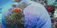 clown fish, Bunaken Island