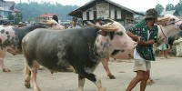 """Tedong"" Buffalo in Rambu Solo Ceremony"